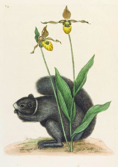 Catesby, Mark: The Lady's Slipper Orchid with a Grey Squirrel. Fine Art Print/Poster (4748)